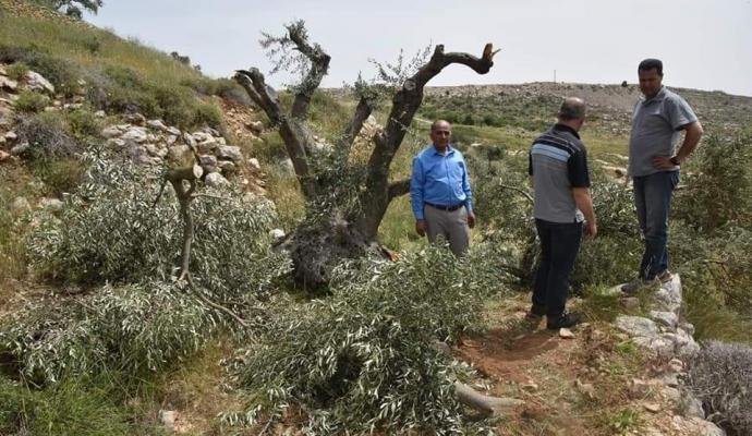 Arrachage d'oliviers par les colons