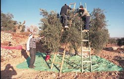 L'huile d'olive palestinienne : un combat de chaque instant