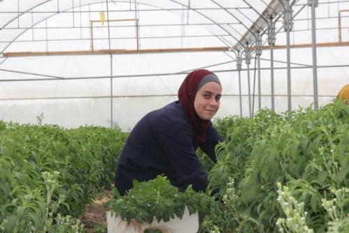 """""""Amandes Amères"""", une vidéo des agriculteurs palestiniens pour s'opposer à la campagne de diffamation israélienne"""