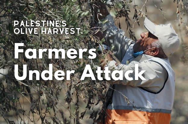 Cueillette des olives : un villageois de 77 ans roué de coups par l'armée israélienne